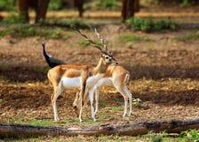 Antilopi delle coppie Fotografia Stock Libera da Diritti