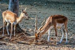 Antilopi di Blackbuck nello zoo Immagine Stock