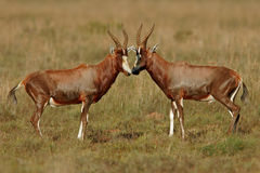 Antilopi di Blesbok Immagine Stock Libera da Diritti