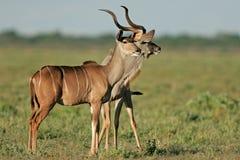 Antilopi di Kudu Fotografia Stock Libera da Diritti
