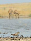 Antilopi di Saiga e dell'allodola al posto di innaffiatura in steppa Immagini Stock Libere da Diritti