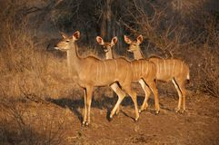 Antilopi femminili del Nyala Fotografia Stock Libera da Diritti