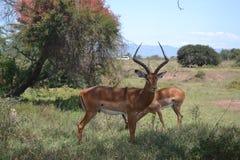 Antilopi maschii mature Fotografia Stock Libera da Diritti