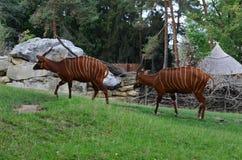 Antilopi nello zoo di Praga Immagine Stock Libera da Diritti