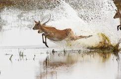 Antilopi rosse di Lechwe - Botswana Fotografia Stock Libera da Diritti