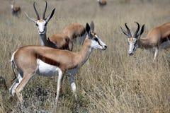 Antilopi saltante Immagine Stock Libera da Diritti