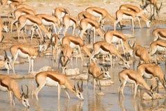 Antilopi saltante Immagini Stock