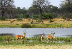 Antilopi saltante Fotografia Stock Libera da Diritti