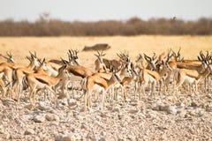 Antilopi saltante Fotografie Stock Libere da Diritti