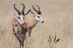 Antilopi saltante Fotografia Stock