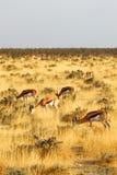 Antilopi saltante Immagini Stock Libere da Diritti