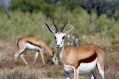 Antilopi saltante da Etosha Africa Fotografia Stock