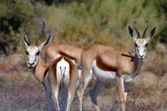 Antilopi saltante da Etosha Africa Immagini Stock