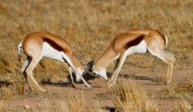 Antilopi saltante di duello Fotografie Stock Libere da Diritti