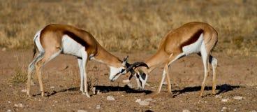 Antilopi saltante di duello Fotografia Stock