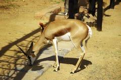 Antilopi saltante e polli (iii) Immagini Stock