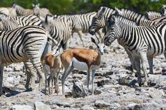 Antilopi saltante e zebre Immagine Stock Libera da Diritti
