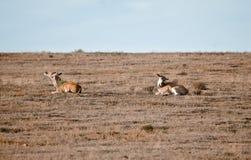 Antilopi selvagge delle coppie Fotografie Stock Libere da Diritti