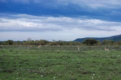 Antilopi selvagge nei masai Mara National Reserve, Kenya della savanna fotografia stock