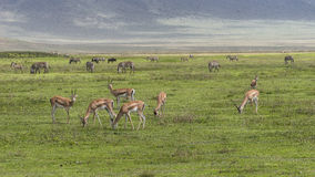 antilopimpala i Tanzania royaltyfria bilder