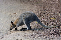 Antilopine kangaroo Stock Photography