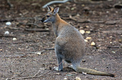 Antilopine kangaroo Royalty Free Stock Photos