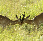 Antilopkamp en mot annan royaltyfri bild