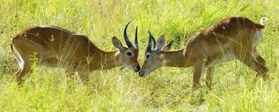 Antilopkamp i fältet fotografering för bildbyråer