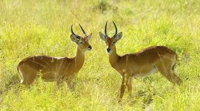 Antilopkamp i fältet Royaltyfri Foto