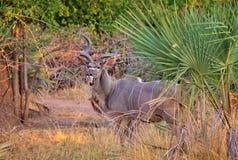 Antilopkudu i den Liwonde nationalparken Royaltyfri Fotografi