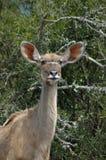 antilopkvinnligkudu Fotografering för Bildbyråer