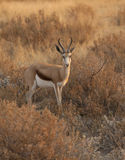antilopspringbok Royaltyfria Bilder