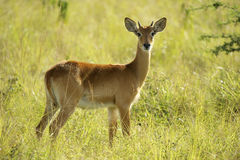Antilopstag i gräset Arkivbild