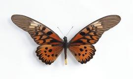 Antimachus van Druryia Royalty-vrije Stock Afbeeldingen