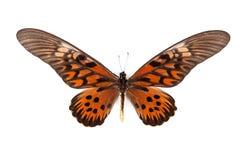 Antimacusn preto e vermelho de Papilio da borboleta Imagens de Stock