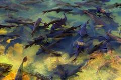 Antimicrobial vissen Stock Afbeeldingen