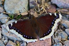 Antiopa Nymphalis, θρηνητής Nixie, δασική πεταλούδα Στοκ φωτογραφίες με δικαίωμα ελεύθερης χρήσης