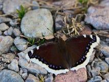 Antiopa Nymphalis, θρηνητής Nixie, δασική πεταλούδα Στοκ Φωτογραφία