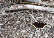 Antiopa Nymphalis πεταλούδων Στοκ εικόνες με δικαίωμα ελεύθερης χρήσης