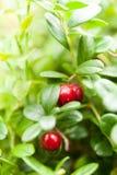 Antioxidante del otoño - arbusto del lingonberry fotografía de archivo libre de regalías