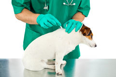 Antiparasitic cure for dog. Vet puts to dog the antiparasitic for ticks and fleas Stock Images