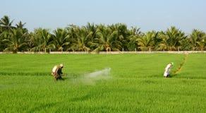 Antiparassitario di spruzzatura dell'agricoltore sul giacimento del riso Immagine Stock Libera da Diritti