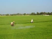 Antiparassitario di spruzzatura dell'agricoltore sul giacimento del riso Fotografia Stock Libera da Diritti