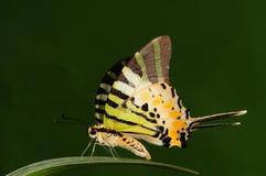 Antiphates /butterfly Pathysa Стоковая Фотография RF