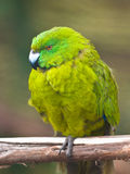 Antipodes island parakeet Royalty Free Stock Photo