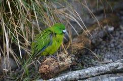 Antipodes Island parakeet Royalty Free Stock Image