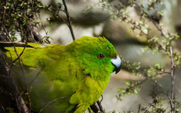 Antipodes Island parakeet Royalty Free Stock Images
