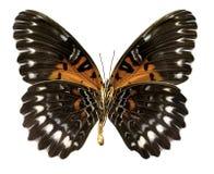 Antippe do obscura de Cethosia da borboleta (trajeto de grampeamento) Foto de Stock Royalty Free
