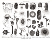1874 Antique Bilder Print of Various Plankton Species Royalty Free Stock Image