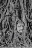 Antique buddha head in tree roots Royalty Free Stock Images